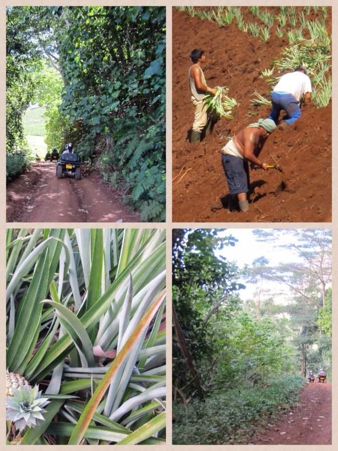 Moorea o que fazer Plantação de Abacaxi