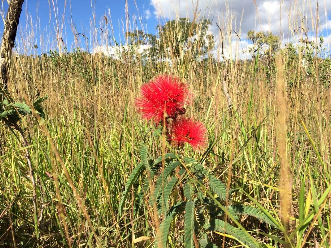 Salto Corumbá flor Caliandra