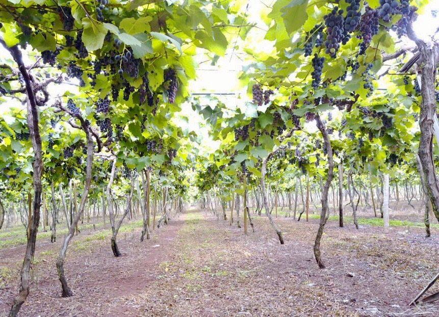 Vinícola Goiás, em Itaberaí – suco Dell Nonno e vinho do cerrado