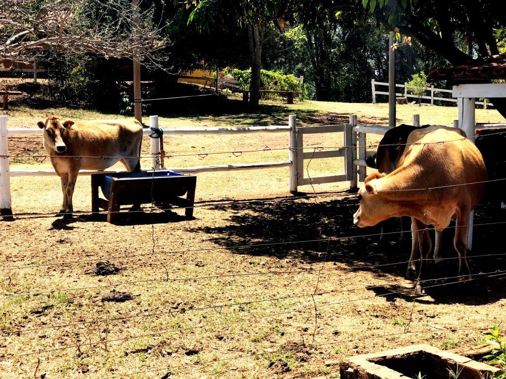 Rancho Canabrava - vaca miniatura