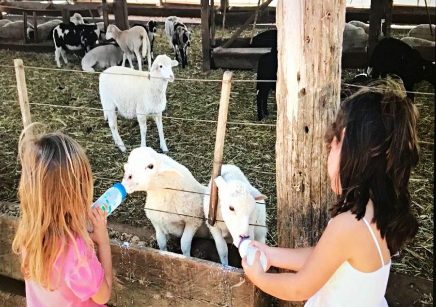 Fazenda Ercoara - alimentando os cordeiros