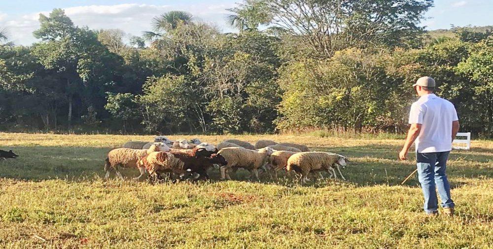 Fazenda Ercoara - manejo das ovelhas