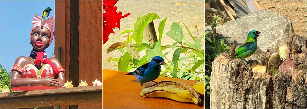 Pássaros mata Paraty