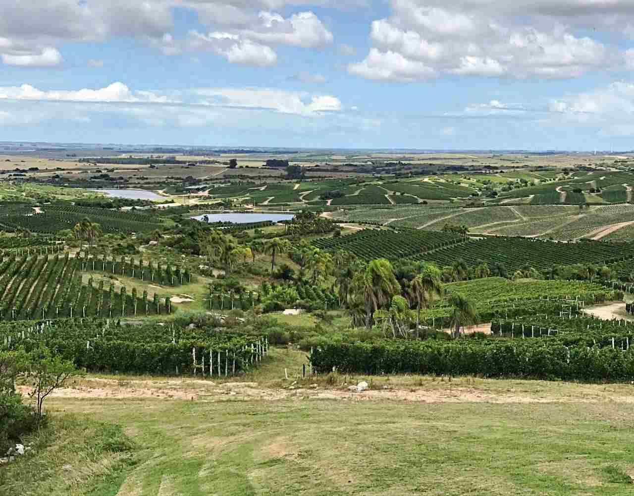 Bodega Garzon Vinhedo - Uruguai
