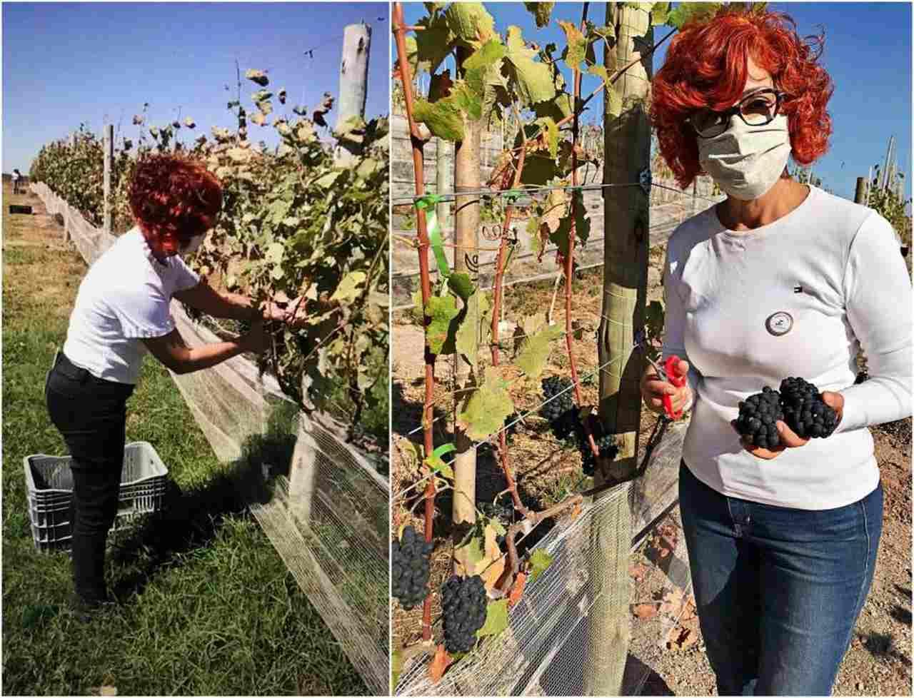 Primeira Colheita Fazenda Ercoara Cordeiro e Vinho e Toscana do Cerrado